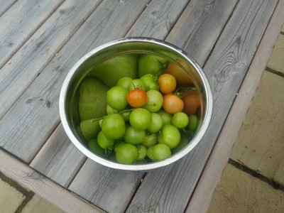 My Mystery Tomato Crop